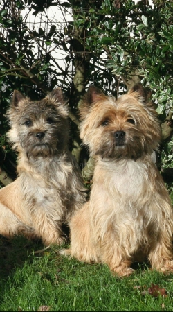 coque Cairn terrier